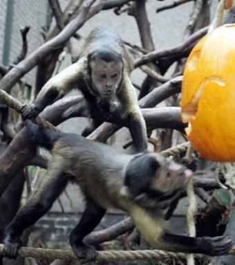 12-FEB-Naughty-Monkey