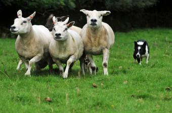 Public relations photos by PR agnecy for sheepdog trials
