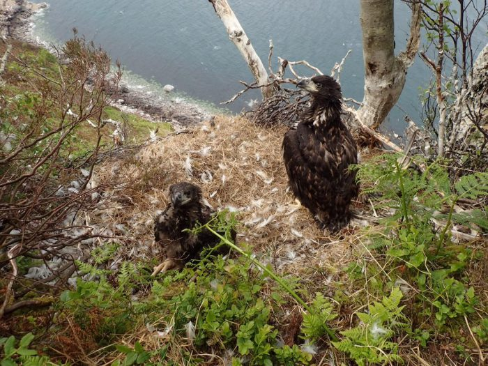 White tailed sea Eagle Siblings in their nest