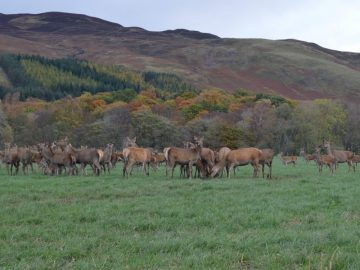 Leading Rural Chartered Surveyors Bell Ingram have teamed up to stage a second event on Scottish Venison Day - Scottish PR