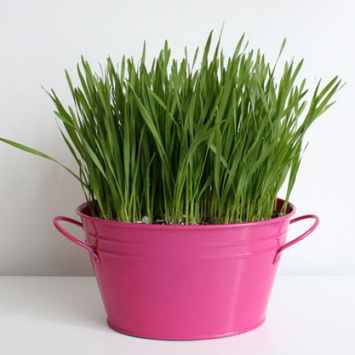 Once the grass reaches about 2 centimetres in height remove the cling wrap and place in a sunny spot. When the cat grass reaches about 8 to 10 centimetres in height you can share with your cats!