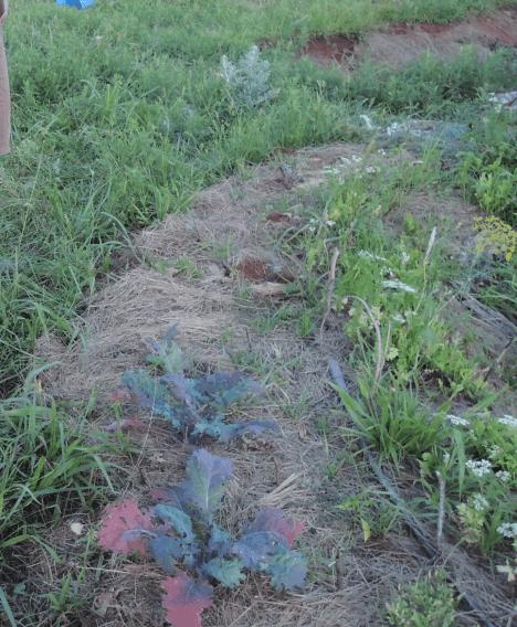 """Kale in the """"kitchen garden,"""" just prior to devastation by grasshoppers"""