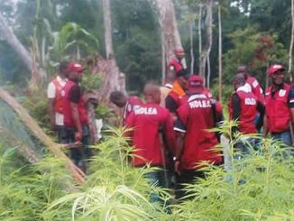 Gombe Farmers Now Cultivate Marijuana Instead Of Grains – NDLEA