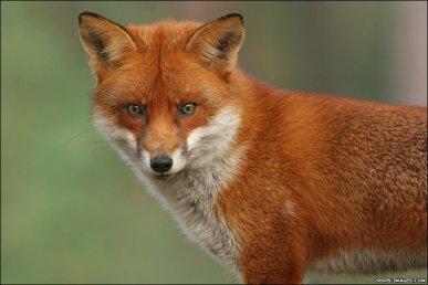 fox deterrents