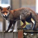 How to Get Rid of Urban or Garden Foxes