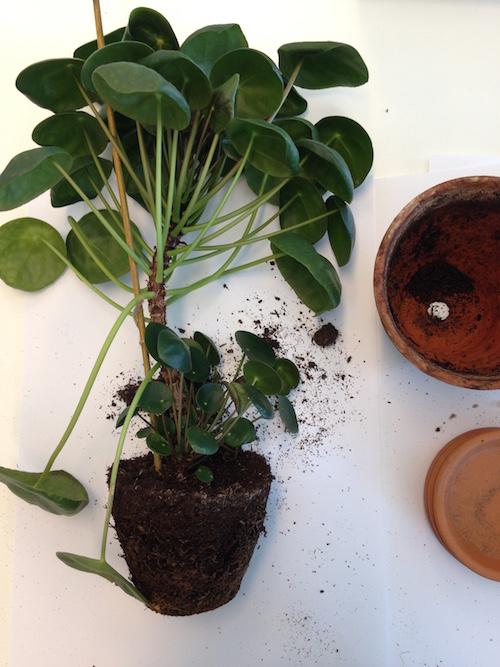 DIY Pannenkoekplant stekken  Homeandgardennl