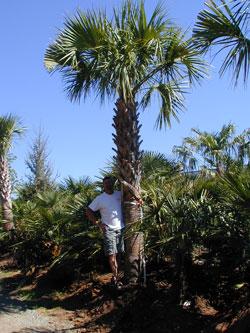 Cabbage Palm Image