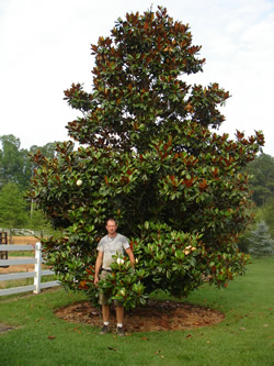 D.B. Blanchard Southern Magnolia Image