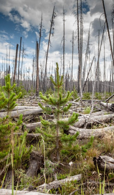 Life Holds on After Fires in Yellowstone – Finding Beauty From Ashes