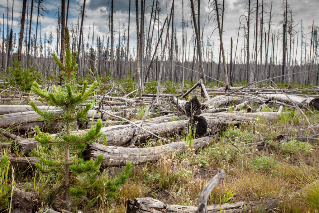Beauty from Ashes - Life after fire in Yellowstone National Park #vezzaniphotography