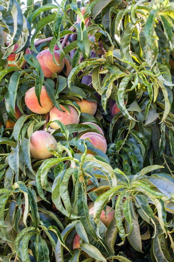 Pruning Our Lives The Parable of the Peach Tree #homebakedjoy