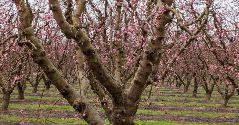 Pruning Our Lives: The Parable of the Peach Tree