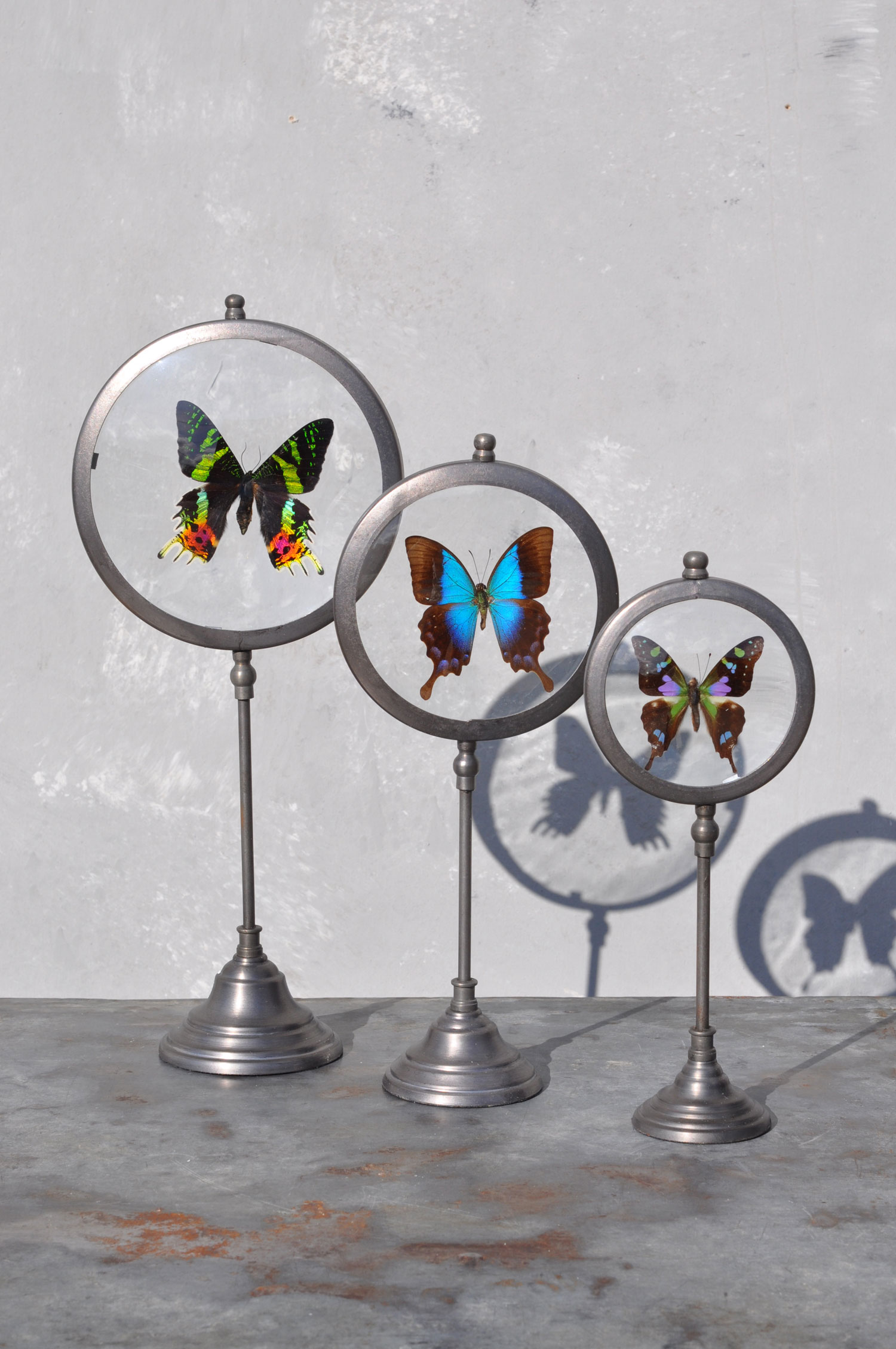 Real-Butterfly-in-cicular-anthropology-style-glass-standing-frames