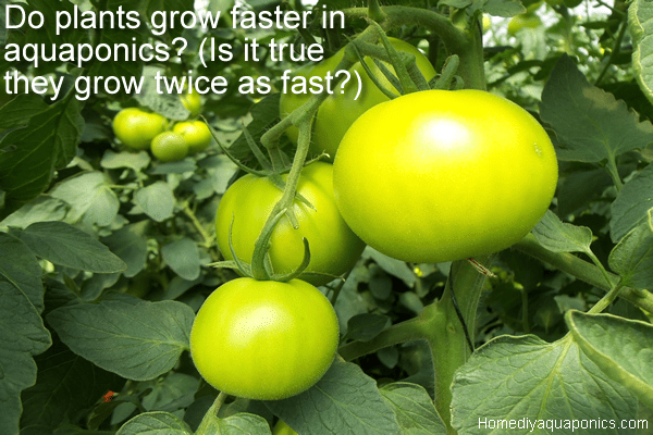 Do plants grow faster in aquaponics - Is it true they grow twice as fast