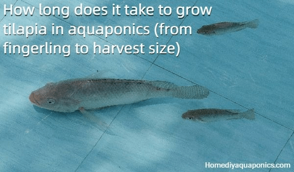 How long does it take to grow tilapia in aquaponics - from fingerling to harvest size