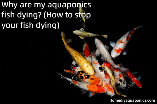 Why are my aquaponics fish dying - How to stop your fish dying