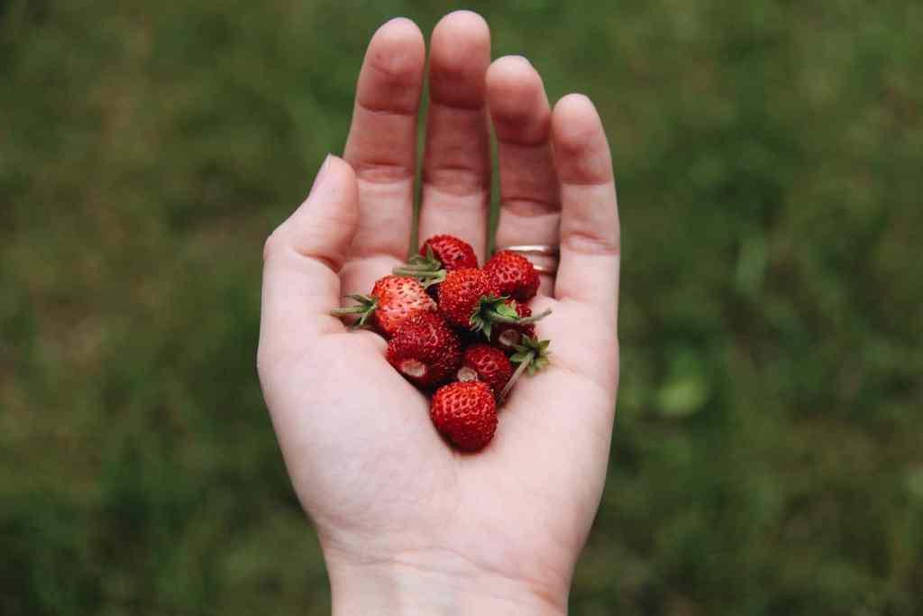 Alpine Strawberries | Home for the Harvest Gardening Blog