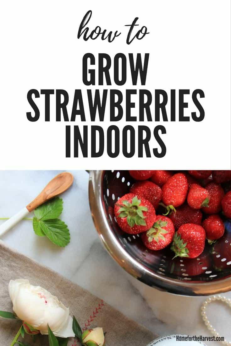 Growing Strawberries Indoors How To Grow Indoor