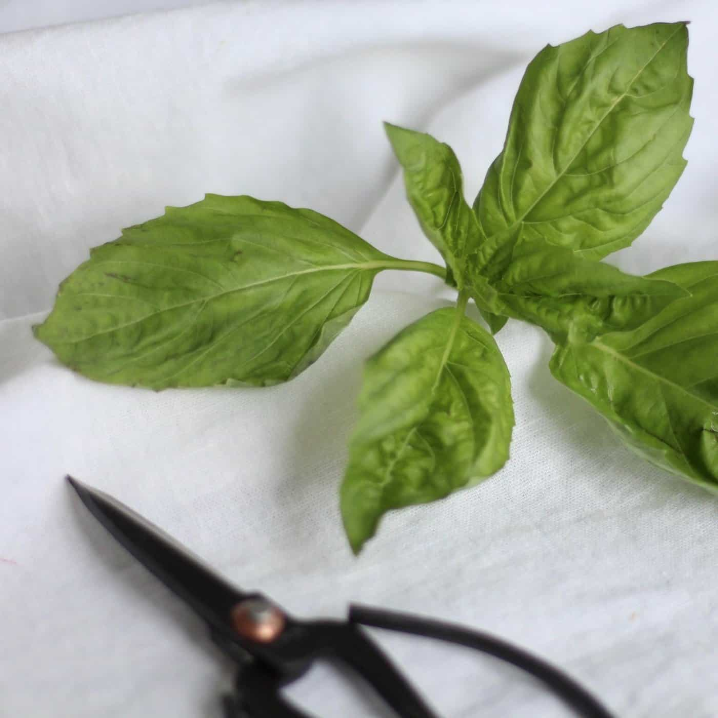 Growing Basil Indoors for an Abundant Year-Round Harvest - Home for ...