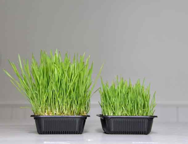 growing wheatgrass with soil vs just in water (without soil)