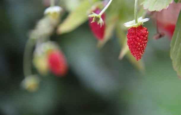 Alpine strawberry container gardening