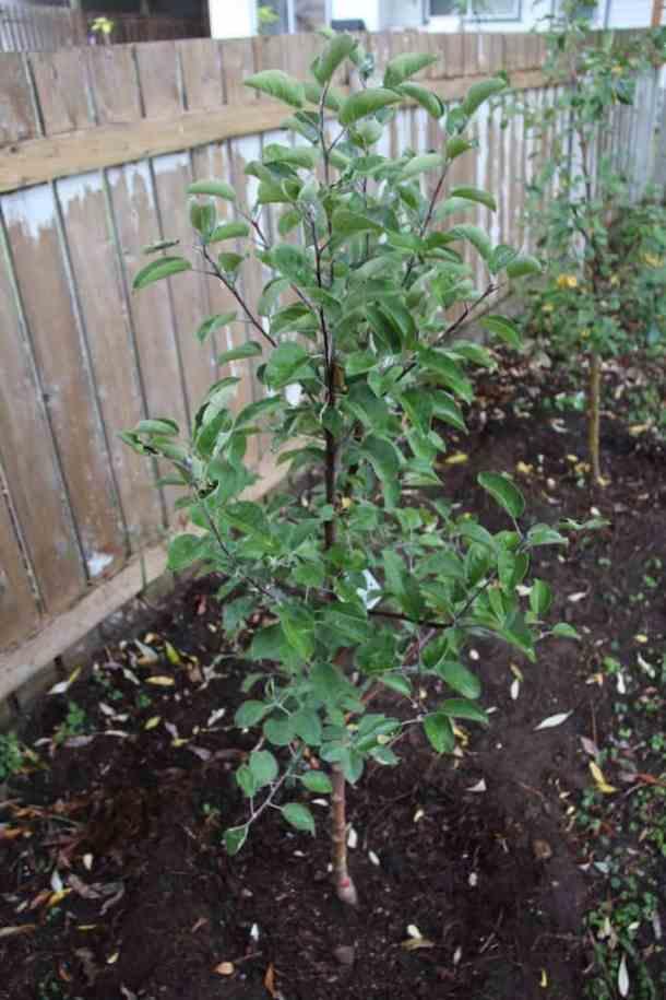 Newly-Planted Semi-Dwarf McIntosh Apple Tree