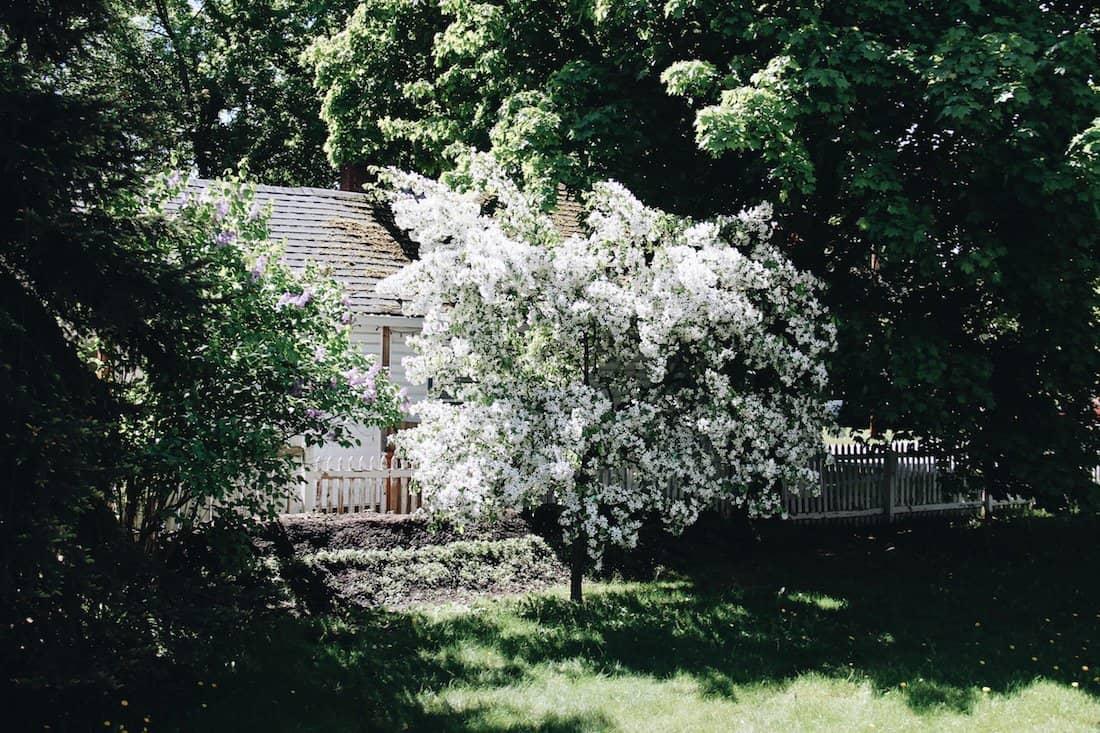 Crabapple Tree in Blossom   Home for the Harvest Gardening Blog