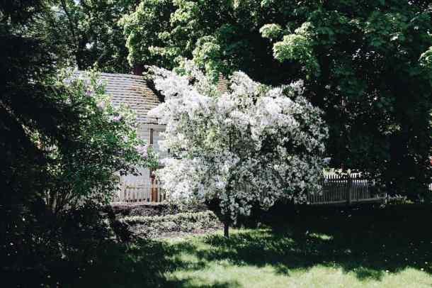Crabapple Tree in Blossom | Home for the Harvest Gardening Blog