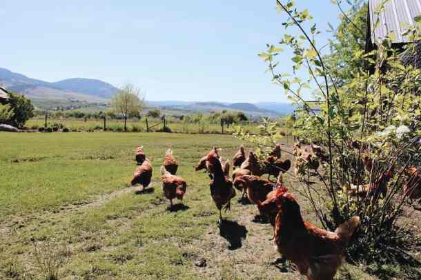 Free Range Chickens at Farm | Home for the Harvest Gardening Blog
