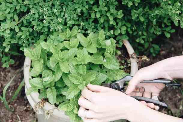 Harvesting Mint | Home for the Harvest Gardening Blog