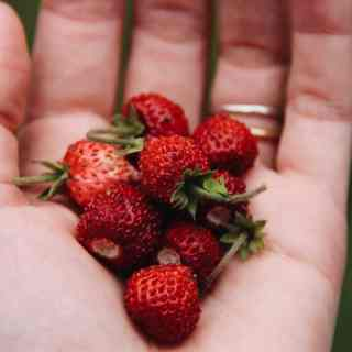 Alpine Strawberries | Home for the Harvest Gardening Blog