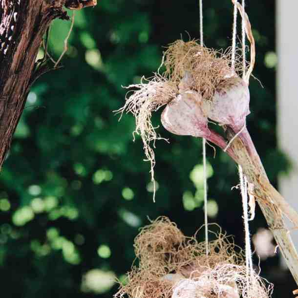 Garlic Curing | Home for the Harvest Gardening Blog