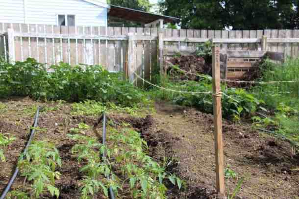 Tomato Starts Growing in Home Garden | Home for the Harvest Gardening Blog