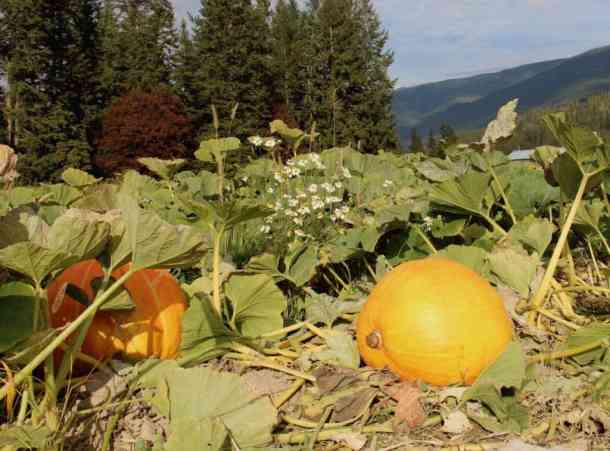 Green Croft Pumpkin Patch | Home for the Harvest