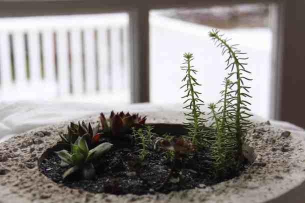 tall succulents in concrete succulent bowl with black sand