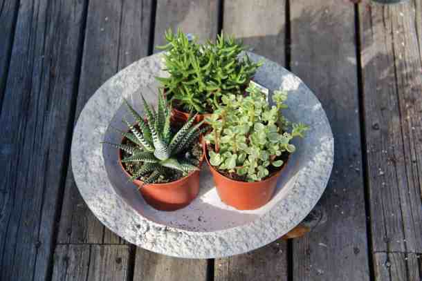 succulents in garden bowl to be planted into a succulent terrarium