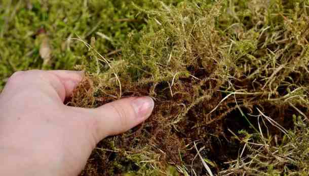 Collect your own wild moss for kokedama moss ball string gardens. Here's how to make DIY kokedama with your own collected moss #moss #kokedama #foraging #mossball