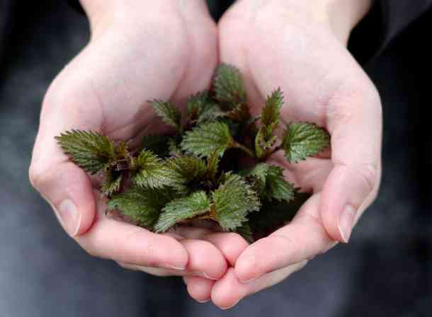 stinging nettles from witch garden in bare hands