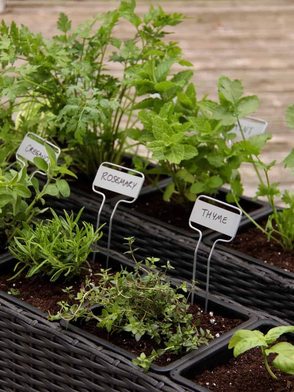 Herb Garden Planter Collection Showing Thyme, Rosemary, Mint, And Other Herb  Plants Growing