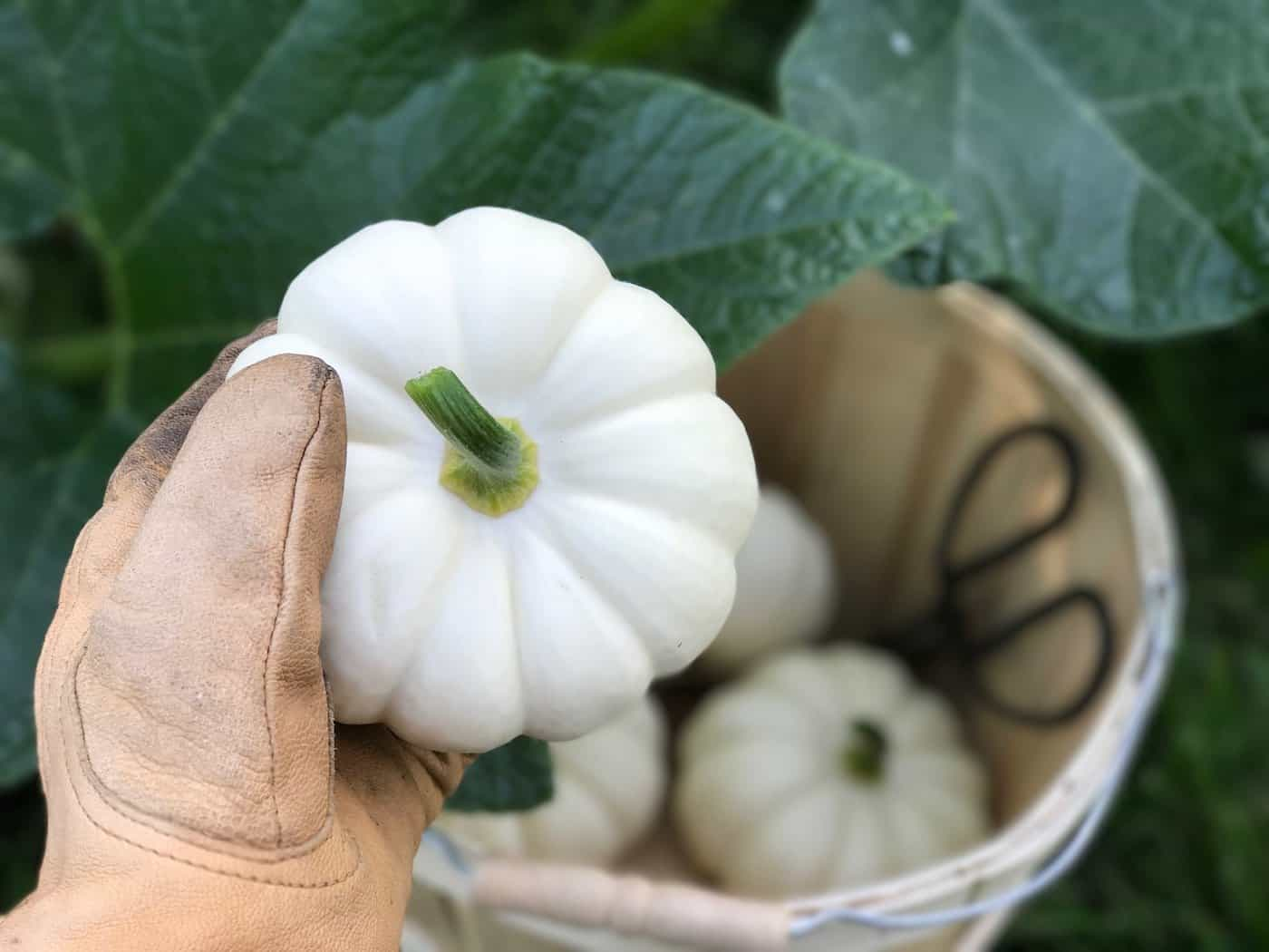 Pumpkins are easy to grow with the right instructions! Here's how to grow organic pumpkins - everything you need to know | Home for the Harvest #pumpkin #pumpkins #organicpumpkin #organicpumpkins #growpumpkins #howtogrowpumpkins #organicgardening #homefortheharvest