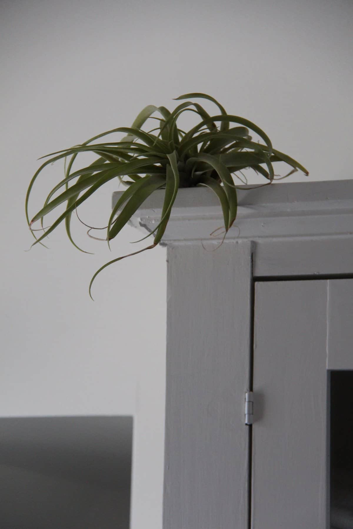 green tillandsia air plant on top of white cabinet against white wall