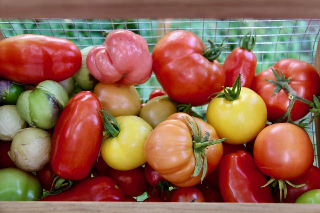 red, pink, yellow, and orange heirloom tomatoes in a harvest basket in front of an organic vegetable garden