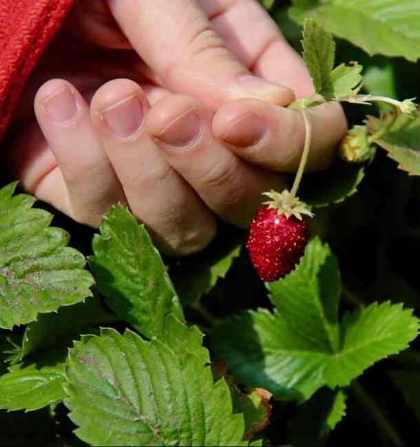 red alpine strawberry being picked from a potager edible garden surrounded by green leaves