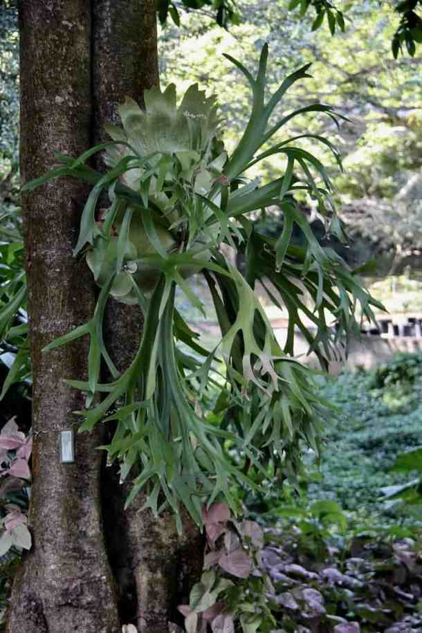 staghorn fern hanging on tree in rain forest
