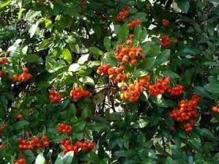 Orange fruit of pyracantha bush.
