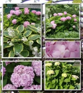 Endless Summer Hydrangea with Frances Williams Hosta