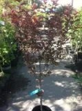 Purple Pony Fruitless Flowering Plum Tree, Tree ships about 4 feet tall, 12 inch container