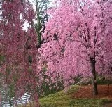 Japanese Weeping Cherry Tree 'Higan' (2-3 feet tall in trade gallon containers)