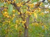 Crabapple Golden Raindrops: Well Established: Container Size: #5