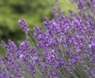 How To Grow Lavender For Its Heavenly Scent